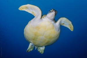 Maldives turtle 1 WM