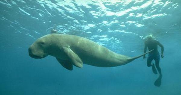 Qatar Dugong