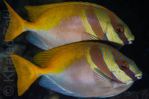 2 Rabbit fish Thailand