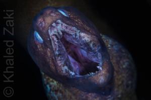 Moray Closeup 2 WM