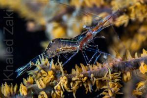 Glass Shrimp 1